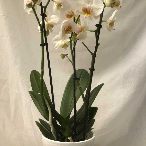 Orchidee Wit 2/3 Stelen €10 Scheerhoorn Bloemen Leek