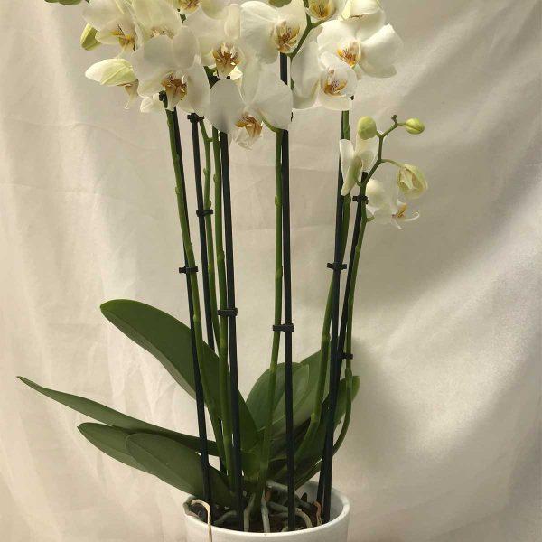 Orchidee Wit 5 Stelen €15 Scheerhoorn Bloemen Leek