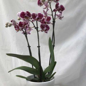 Orchidee Gekleurd €12,50 Scheerhoorn Bloemen Leek