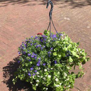 Buitenplant Hang - Scheerhoorn Bloemen Leek