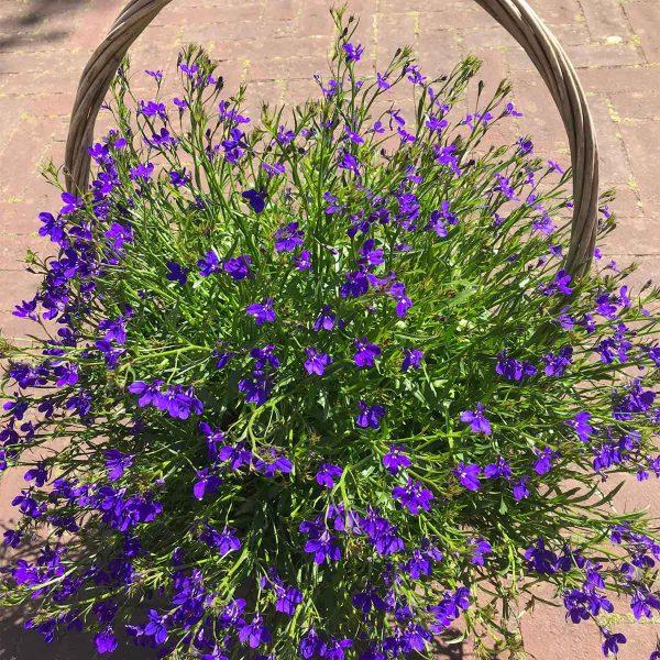 Buitenplant Mand - Scheerhoorn Bloemen Leek