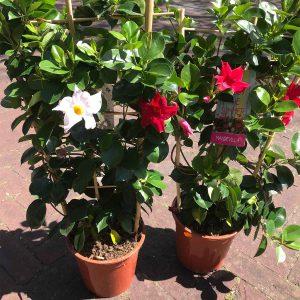 Buitenplant Pot - Scheerhoorn Bloemen Leek